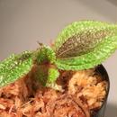 Bertolonia marmorata from Brazil
