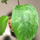 Schismatoglottis sp. from Padang Sumatera