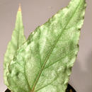 Begonia sp. from Malay [HA]