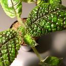 Pearcea rugosissima from Ecuador