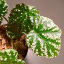 Begonia sp. from Taiwan