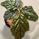 Ardisia sp. fromBengkulu [LA0315-1]