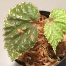 Begonia sp. from Matang [TK160716]