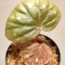 Begonia sp. from Sarawak [LA]