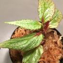 Begonia sp. from Balai Ringin [RIO]