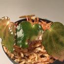 Begonia melanobulata from North Vietnam