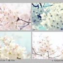 Tomomi HASEGAWA メッセージカード(桜) 4枚セット