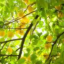 【11月3日(土)12時30分〜開催】季節の手仕事|柚子胡椒づくり