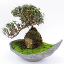【仏像盆栽】チリメンカズラ
