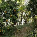 ジャングルみかん 5Kg