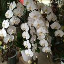 胡蝶蘭 白 5本立ち (※お届けに3~5日かかります)