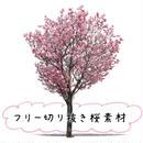 フリー素材!陽光桜 桜切り抜き素材 yoko-sakura