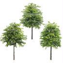 3本樹木(アイレベル)  アカナラ 23_011