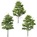 3本樹木(アイレベル) ハナミズキ 23_026