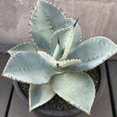 "Agave Pygmaea ""Dragontoes"""