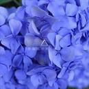 Giftpliz - 紫陽花の咲く頃に