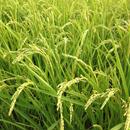 無農薬合鴨農法天日掛け干し米(白米)コシヒカリ 5kg