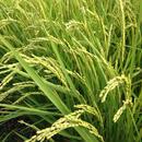 無農薬合鴨農法天日掛け干し米(白米)コシヒカリ 3kg