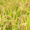 無農薬合鴨農法米(玄米)コシヒカリ 3kg