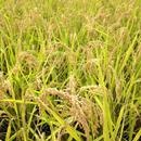 無農薬合鴨農法米(白米)コシヒカリ 3kg