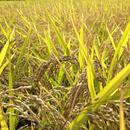 無農薬合鴨農法天日掛け干し米(玄米)コシヒカリ 5kg