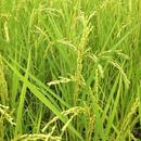 無農薬合鴨農法天日掛け干し米(白米)コシヒカリ 10kg