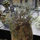 ユーフォルビア ピチューサ ( 鉢なし )