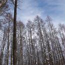 冬の青空。林から。その3