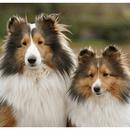 【記事販売】人気の犬「シェットランド・シープドッグ」の紹介記事テンプレート(約100文字)