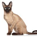 【記事販売】人気の猫「オリエンタルショートヘア」の紹介記事テンプレート(約200文字)