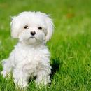 【記事販売】人気の犬「マルチーズ」の紹介記事テンプレート(約100文字)
