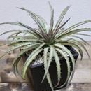 《超レア植物》Dyckia dacota  Variegata