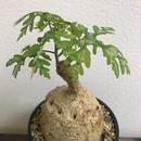 《塊根植物》Adenia Perrieri