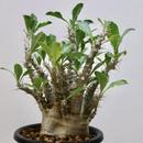 《塊根植物》Pachypodium saundersii