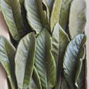 びわの葉エキスつくり用 びわの葉  乾燥   150g  まるっぽ   (葉のうぶ毛除去スミ)