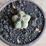 アズテキウム    ベニカゴ  no.001   Aztekium valdezii