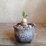 パキポディウム   ナマクアナム       光堂   no.02   Pachypodium namaquanum