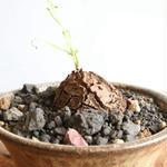 ディオスコレア   亀甲竜   no.011  W3.5cm   Dioscorea elephantipe