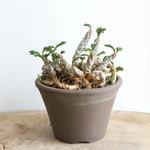 ユーフォルビア デカリー   no.002    Euphorbia decaryi