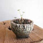 ペラルゴニウム    シブソルピフォリウム   no.001   pelargonium sibthorpifolium