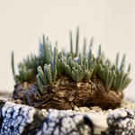 アボニア クイナリア  アルストニー    Avonia  quinaria  ssp. alstonii