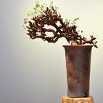 ペラルゴニム    ミラビレ no.001  Pelargonium mirabile
