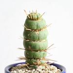 ユーリキニア   カスタネア   スピラリ  no.001  Eulychnia castanea f. 'spiralis'
