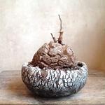 ディオスコレア   亀甲竜   no.28   W11cm   Dioscorea elephantipes