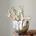 オトンナ    クラビフォリア    no.002    Othonna clavifolia