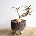 ユーフォルビア   ワリンギアエ  no.007   Euphorbia waringiae