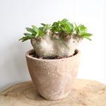 パキポディウム  エブレネウム  no.002 Pachypodium eburneum