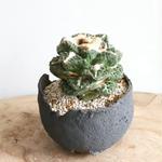 ロゼオカクタス  ゴジラ  no.002   Roseocactus fissuratus 'Godzilla