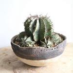 ユーフォルビア  ホリダ  no.010   Euphorbia  horrida