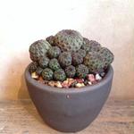 スルコレブチア   ラウシー  no.02   Sulcorebutia rauschii